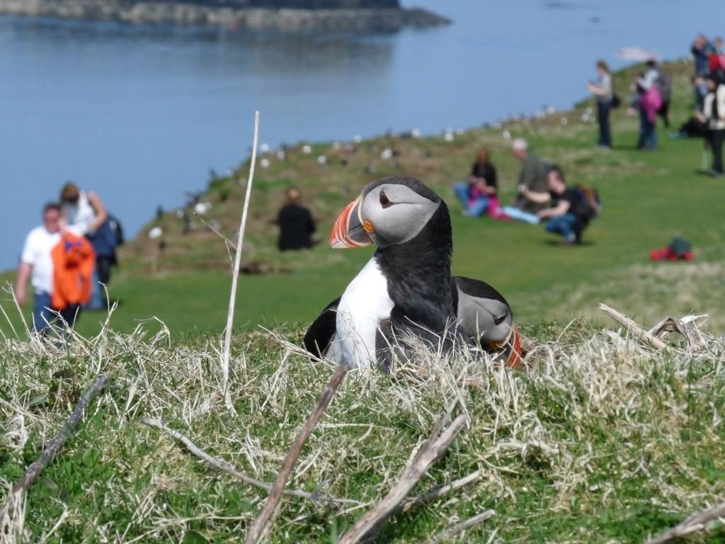 Puffin - Treshnish Isles
